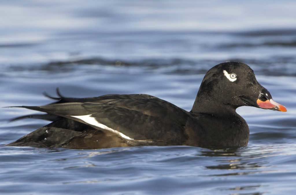 Top Five Duck Species You Didn't Know Existed